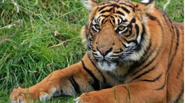 Penampakan Harimau dan Ular Berkaki Bikin Heboh Warga Riau