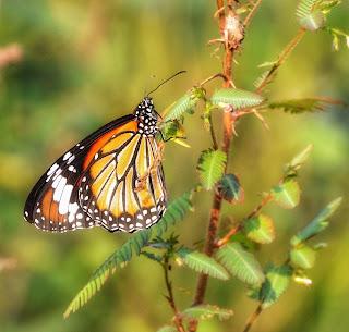 How to Photograph Butterflies
