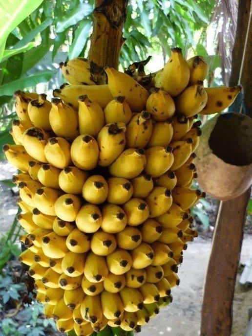 Banana | Benefícios da Banana à Saúde