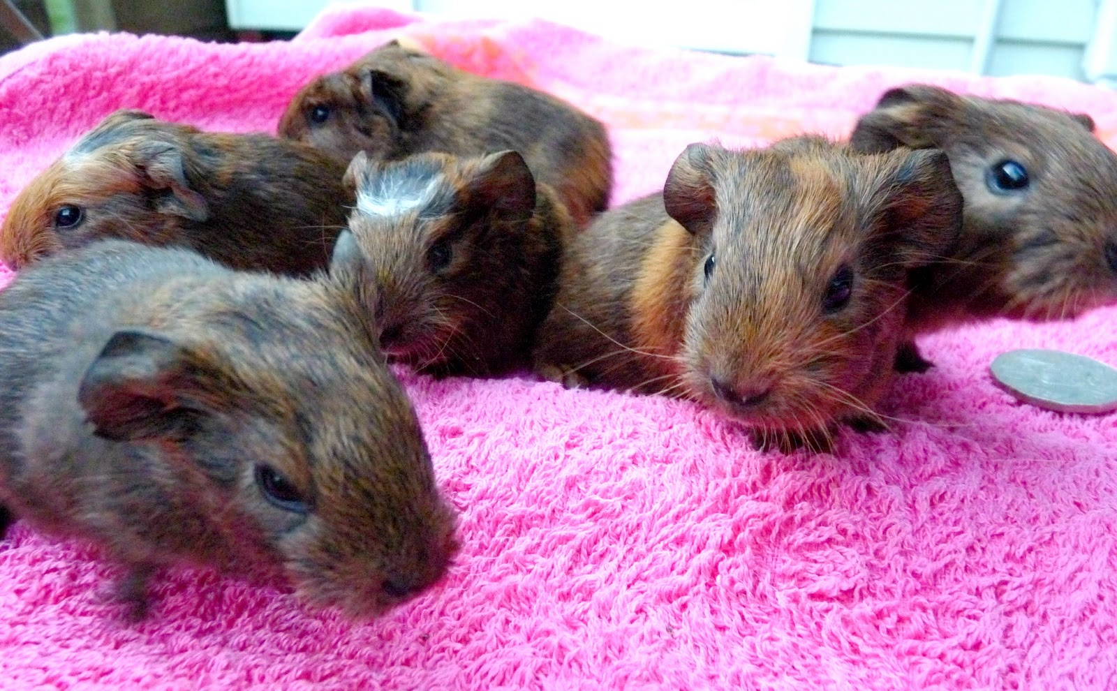 Sweetie The World S Oldest Guinea Pig