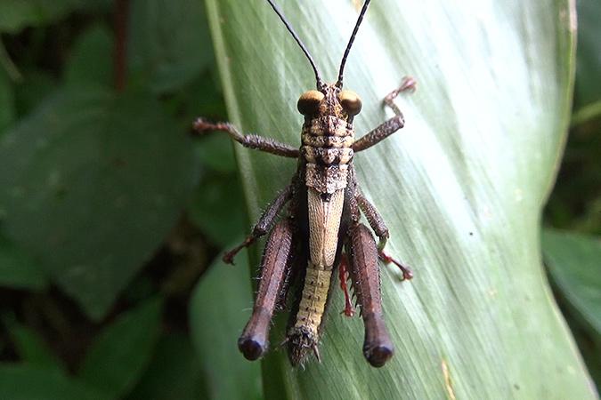 Dlium Short-horned grasshoppers (Acrididae)