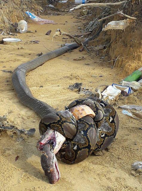 Essa cobra-real tentou pegar, matar e comer esta píton-reticulada, mas foi enrolada, estrangulada e morta pela píton no processo, na verdade, os dois répteis foram encontrados mortos.