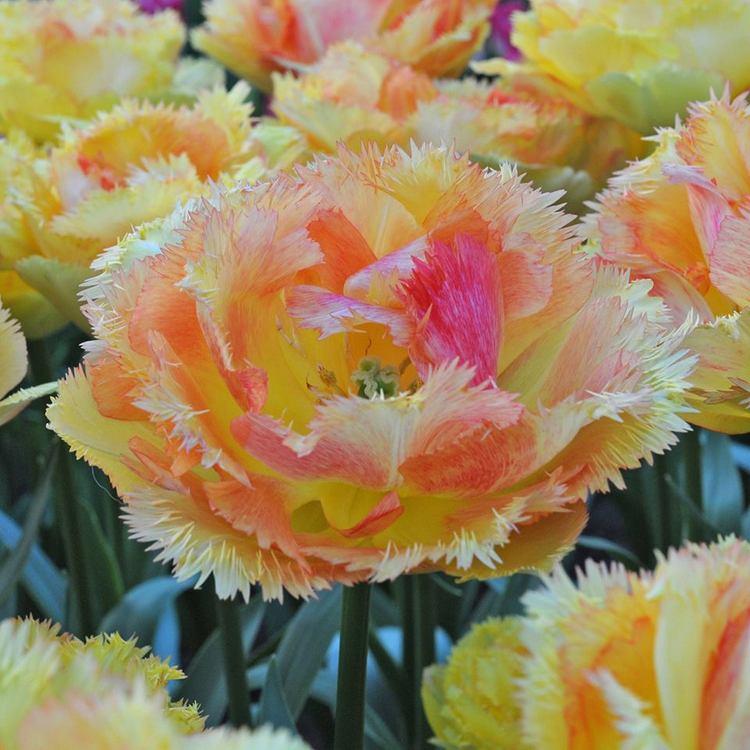 Tulip 'Vaya con Dios'