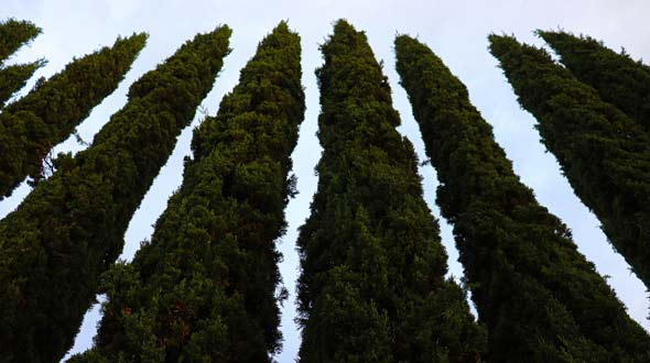 Evergreen thuja privacy and shade hedge