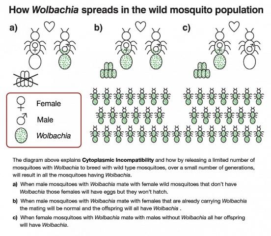 Diagram Penyebaran bacteri wolbachia pada populasi perkawinan nyamuk liar
