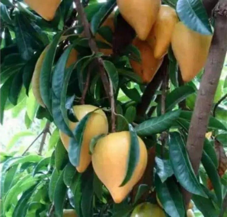 Bibit buah bibit buah mentega sawo belanda sawo alkesah WISATA AGROTANI Tangerang Selatan