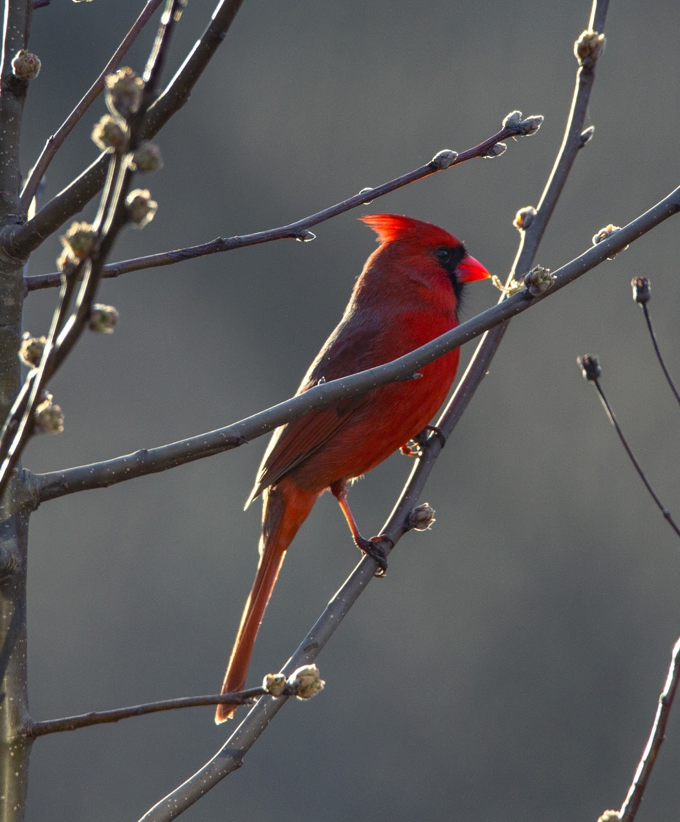 Picture of a red cardinal bird.