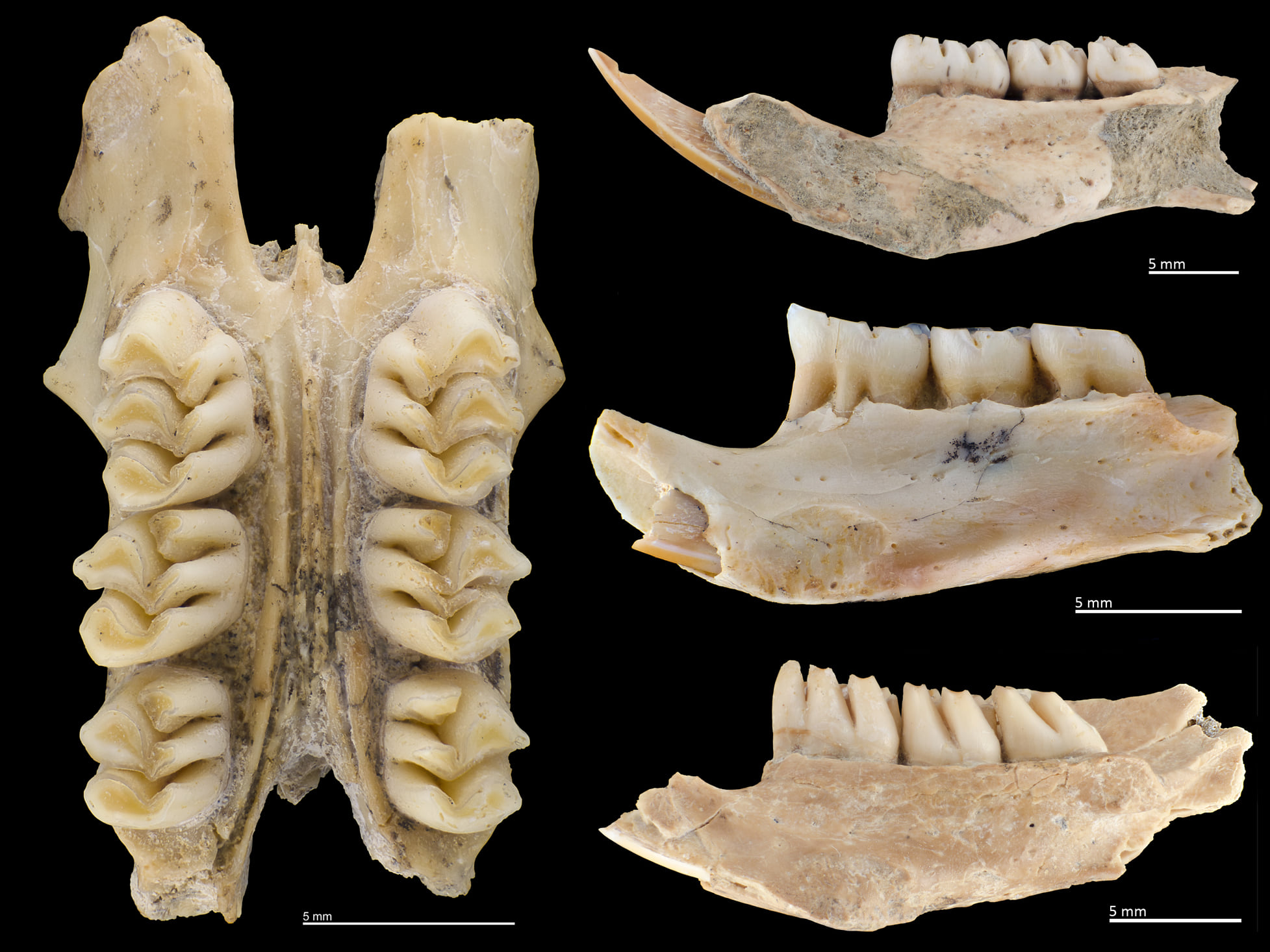 Collage of fossil cloud rat teeth