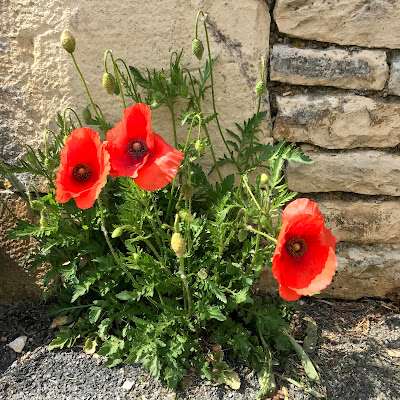 French Village Diaries covid-19 confinement day thirty-nine poppies