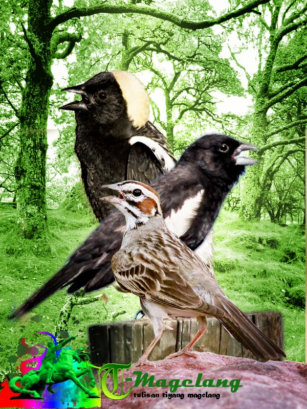 download mp3 suara burung bobolink,lark sparrow,lark bunting