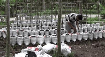 Pengolahan Lahan Tanam Kacang Panjang