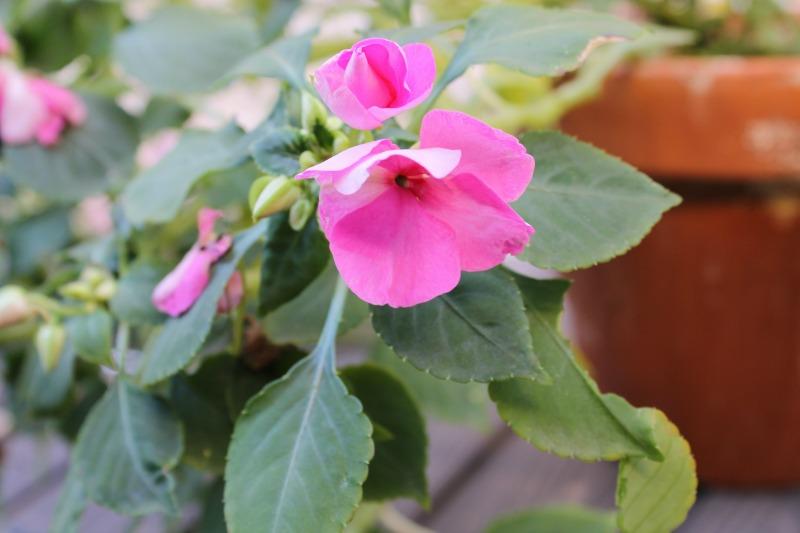 Flores de Alegría de la casa