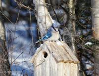 Blue jay on bird house near O'Leary, PEI, Canada- Feb. 9, 2018, by Jodi Arsenault