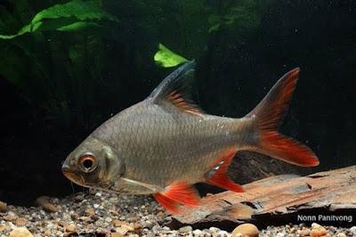 Ikan Kaviat pemakan kutu