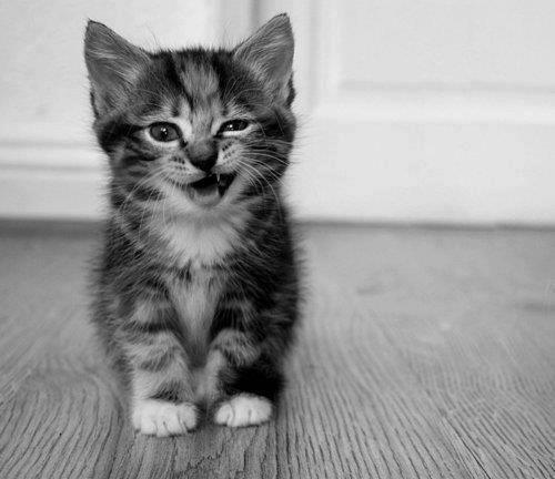 gatito gruñendo
