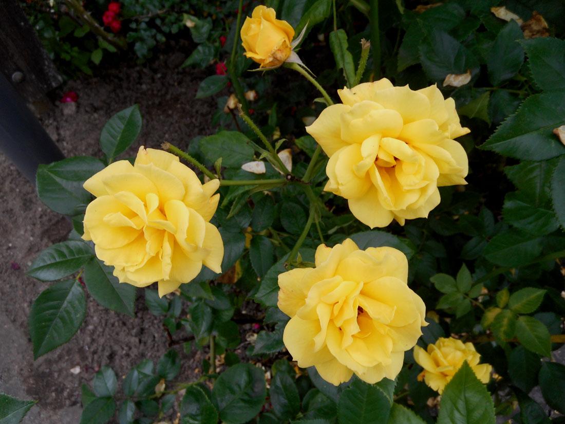 Rose nel Hälsoträdgården i Kristianstad