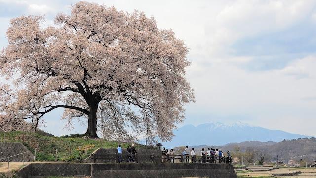 小淵沢から甲府まで山高神代桜・わに塚の桜など北杜市~韮崎市の桜の名所を巡りながら走るサイクリングコース