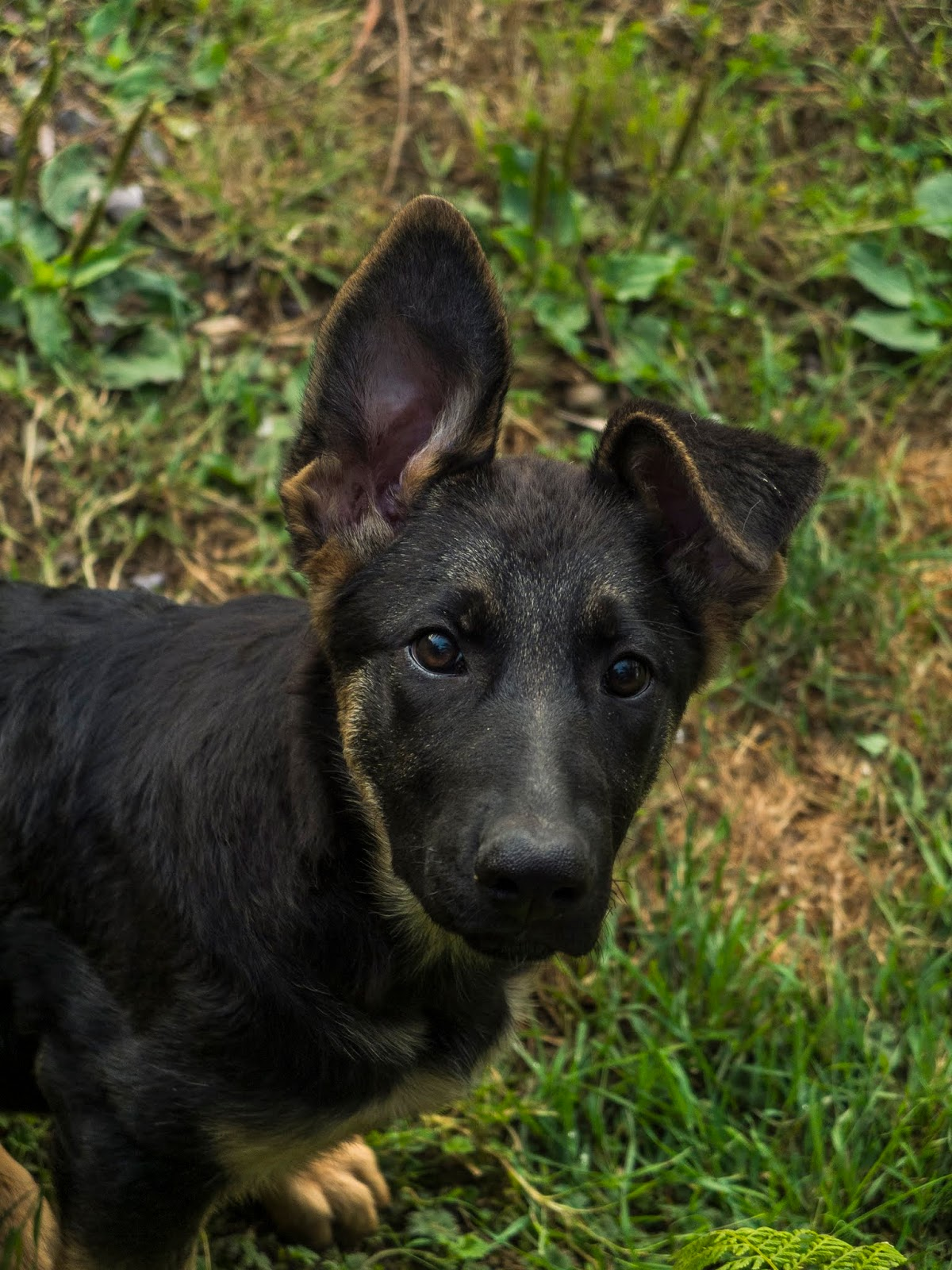 A German Shepherd puppy holding one ear up and looking up at the camera.