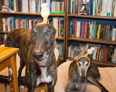 Dennis and Bettina greyhound BB8