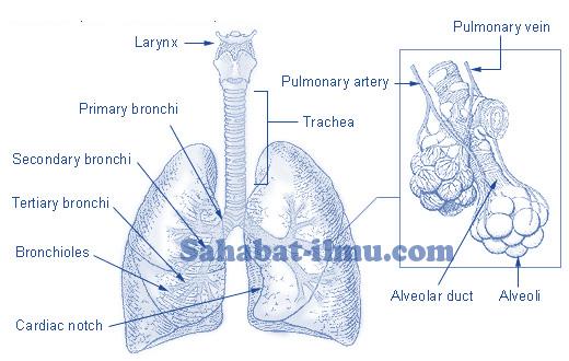 Pengertian, Fungsi, dan Cara Kerja Paru-paru