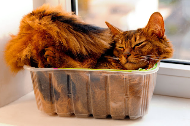 If I fits, I sits: A cat squashed into a see-through container on a window ledge.