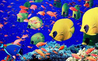 صور اسماك زينة للمنزل والمكتب The%2Bmost%2Bbeautiful%2Bpictures%2Bof%2Bcolorful%2Bfish%2B%25281%2529