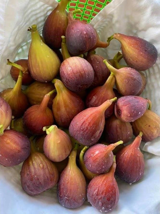 Bibit buah tin Jumbo Red Palestine sangat produktif Sumatra Selatan