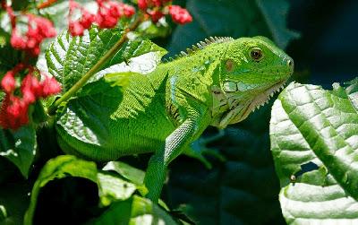 Cara Merawat Iguana Supaya Cepat Besar Untuk Pemula