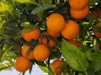 Cara Merawat Pohon Jeruk Agar Berbuah Lebat