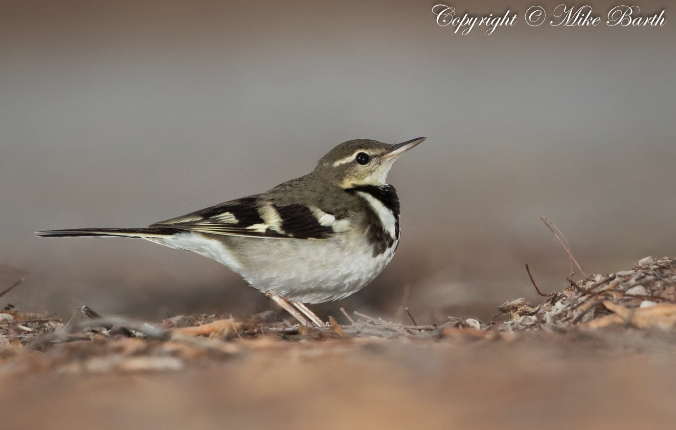 Forest Wagtail – UAE Record No 10