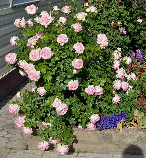 Pierre De Ronsard роза фото