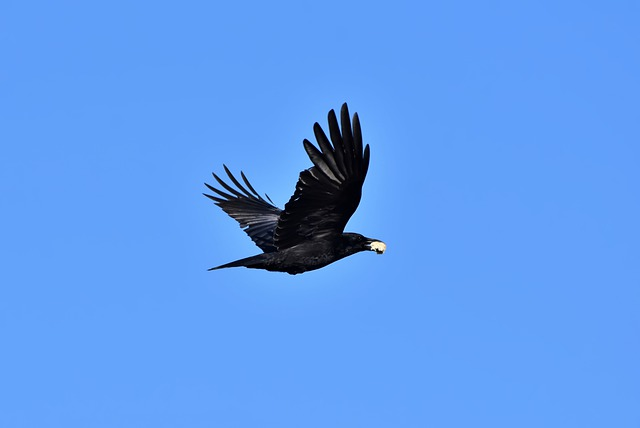 85 Interesting Facts About Crows