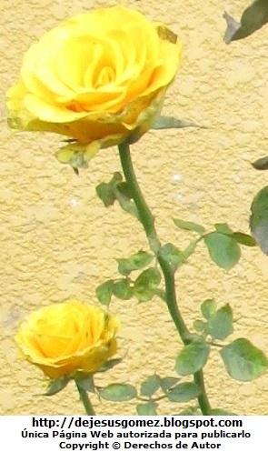 Foto de rosas amarillas de Jesus Gómez