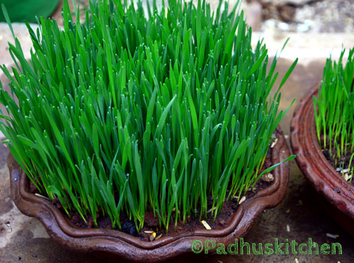 Wheat grass-How to Grow Wheat Grass at Home