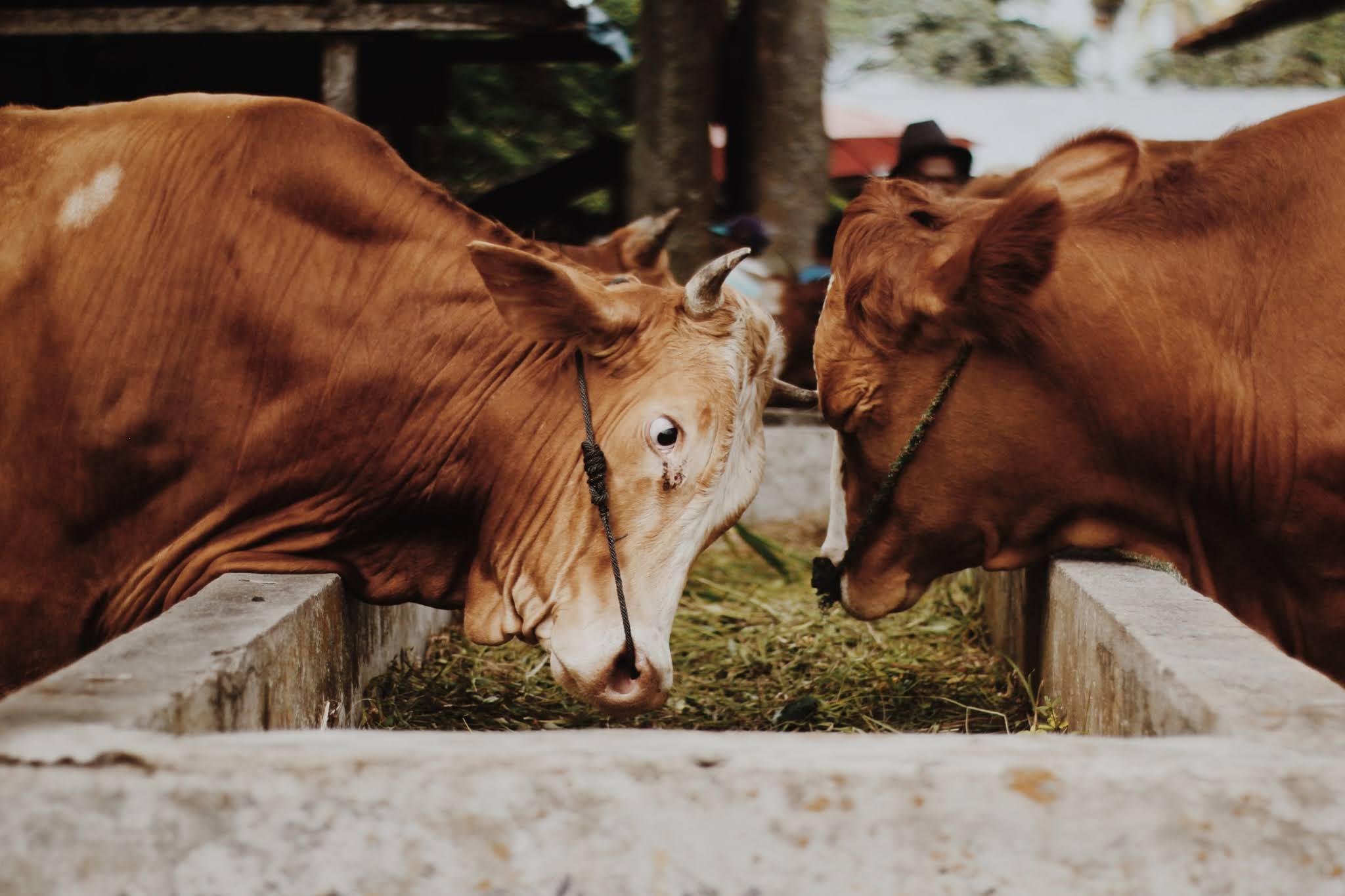 Cow's-Behavior