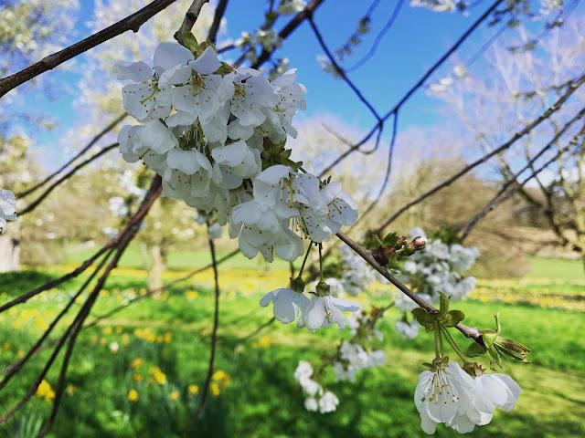 Blossom tree at Ascott