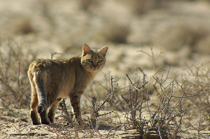 Brown African wildcat in the African savannah