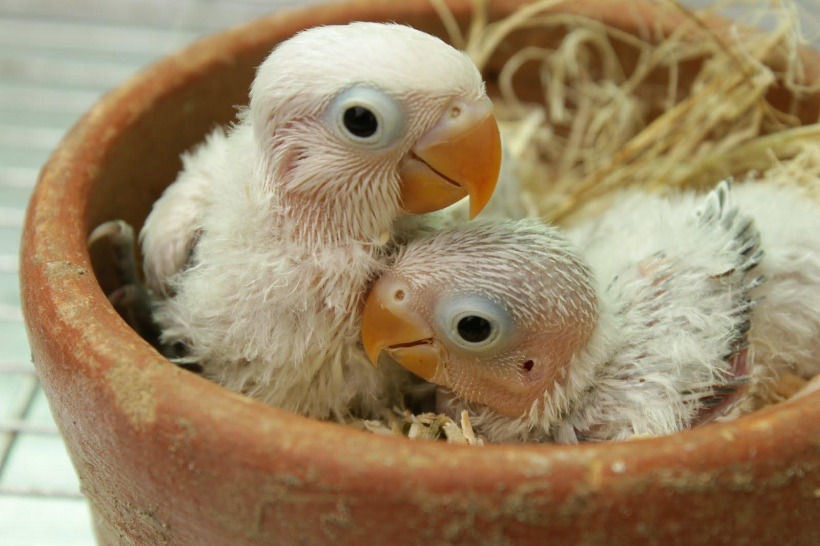 Baby Pied Fischer Love Birds