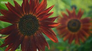 'Velvet Queen' Sunflower