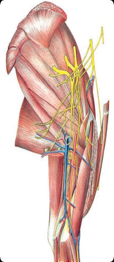 Anatomía veterinaria: marzo 2017