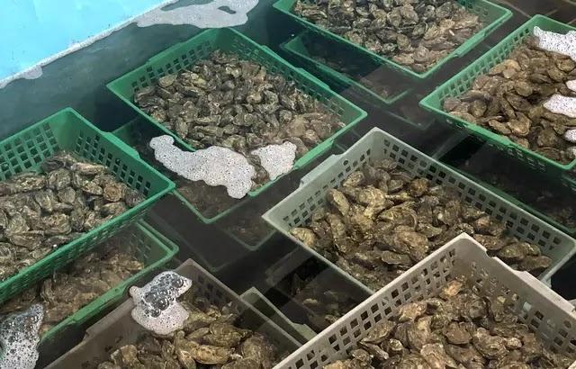 Gironde : Tous les coquillages du bassin d'Arcachon interdits de consommation