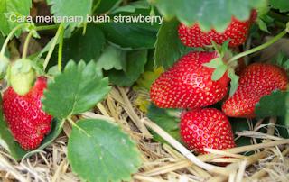cara menanam buah strawberry