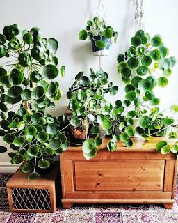 Pieniążek (Pilea peperomioides)- popularna roślina, którą pokocha cała Twoja rodzina