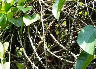 tumbuhan kumis kucing gang jie dan gho siah