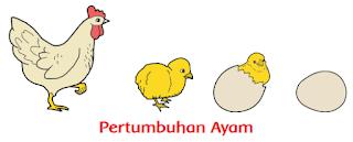 Pertumbuhan Ayam www.simplenews.me
