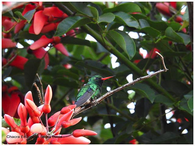 Picaflor entre flores de Ceibo-Chacra Educativa Santa Lucía