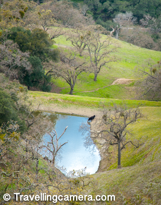Weather was brilliant and that's why you see such a beautiful sky reflection in above water pond in Sunol Hiking Park. Notice 2 cows drinking water around the water pond.