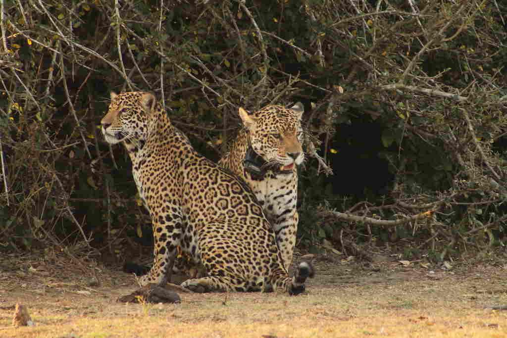 A reintrodução de animais na natureza começa a ganhar força por meio de ações como as realizadas pelo Onçafari. O projeto, criado para o estudo e conservação de onças-pintadas, por meio de sua frente Rewild (Reintrodução), desenvolvida em parceria com o CENAP/ICMBio, iniciou esse trabalho com felinos em 2014. Com dois recintos destinados à reabilitação e soltura, localizados no Refúgio Ecológico Caiman, no Pantanal; e na Pousada Thaimaçu, na Amazônia, a reintrodução já demonstra resultados.