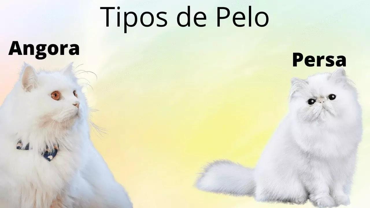 Diferencias en el pelo de los gatos angora y persa