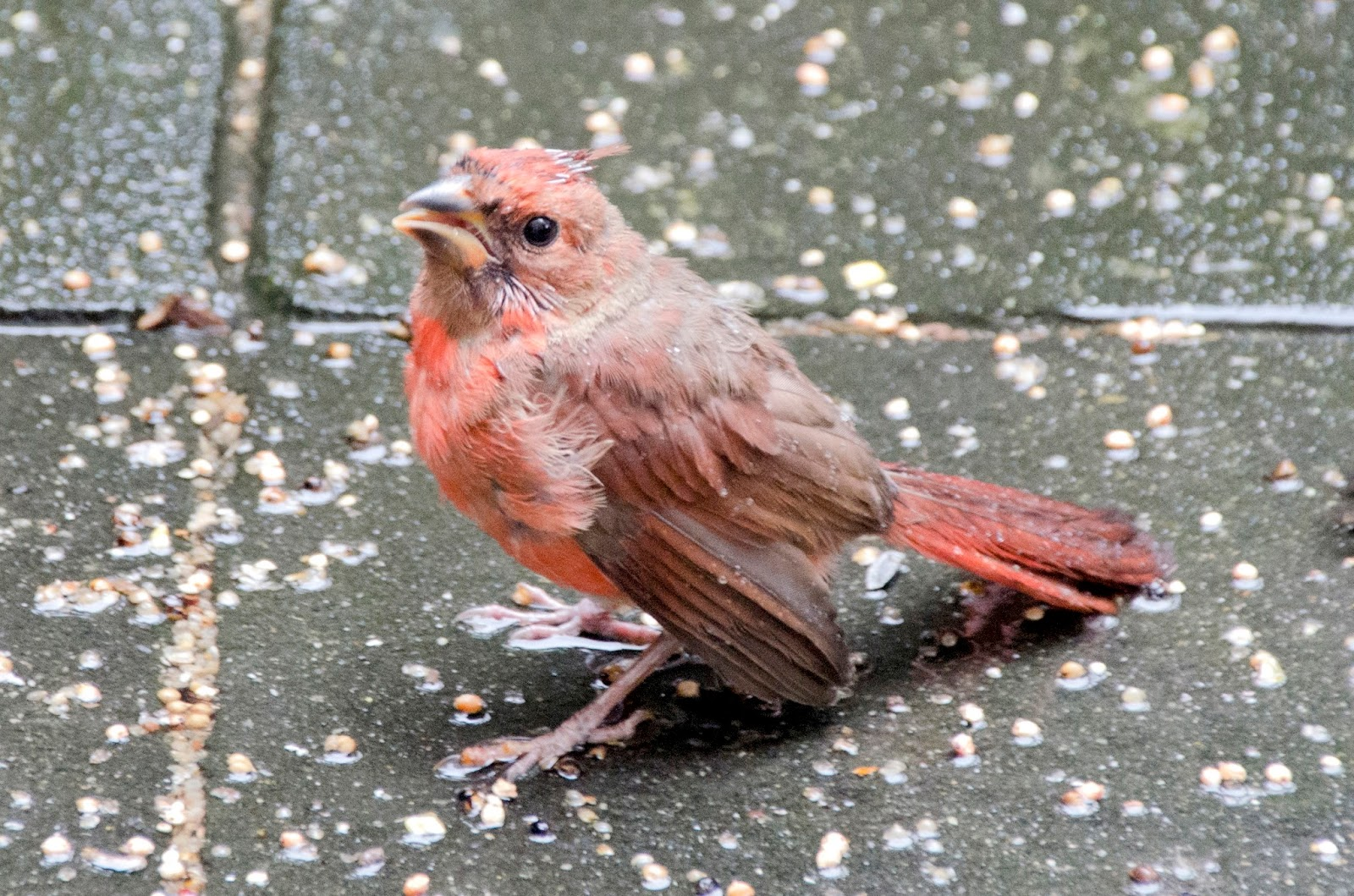 Baby Cardinal poses for the camera